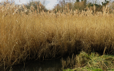 Reedbeds at Crane Park Island